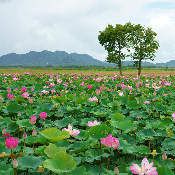 Lotus voyage to vietnam the lotus is found throughout vietnam in the muddy water of lakes and ponds here lotus flowers bloom in the mekong delta mightylinksfo